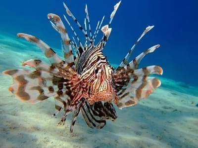 Lionfish Specialty