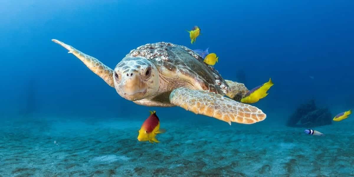 Loggerhead Turtle_banner