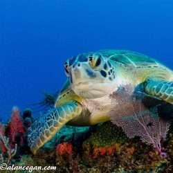 Turtle Time JDC Green Turtle