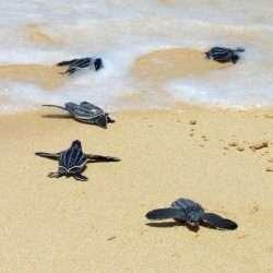 Leatherbacks crawling to the sea