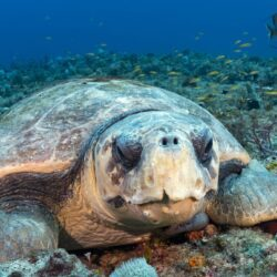 Turtle Time Loggerhead Looking at you - Walt Stearns