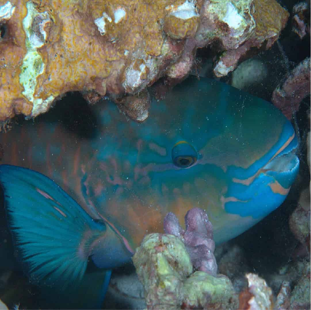 JDC Parrot Fish in mucus bubble