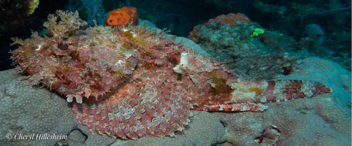 JDC Scopion Fish by Cheryl Hillesheim