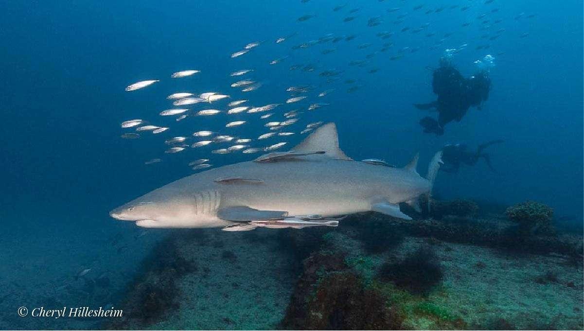 Shark on wreck